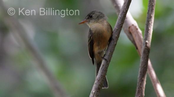 Lesser Antillean Pewee (Contopus latirostris)