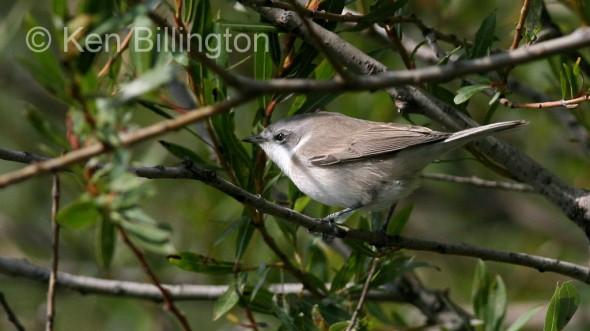 Lesser Whitethroat (Sylvia curruca)