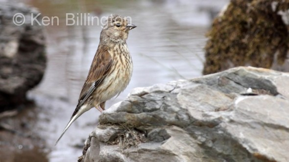 Female Linnet (Carduelis cannabina)