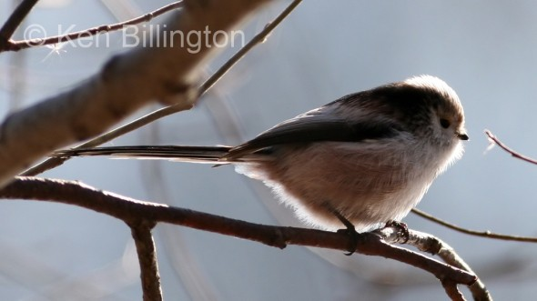 Long-tailed Tit (Aegithalos caudatus) (2)