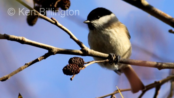 Marsh Tit (Poecile palustris) (12)