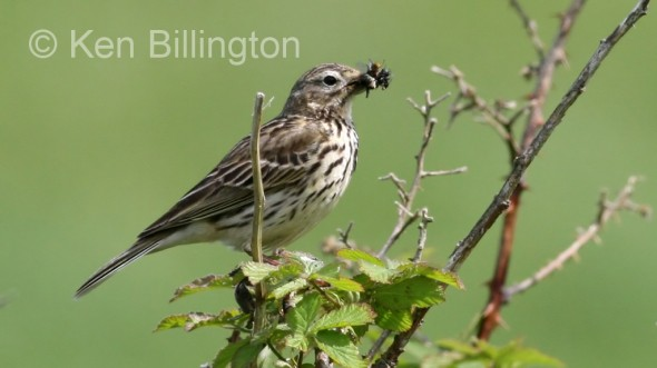 Meadow Pipit (Anthus pratensis) (10)