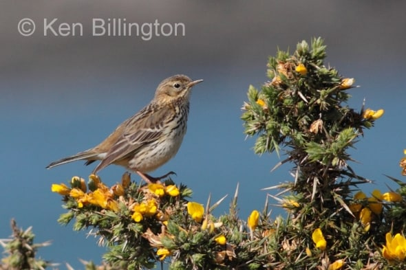 Meadow Pipit (Anthus pratensis) (17)