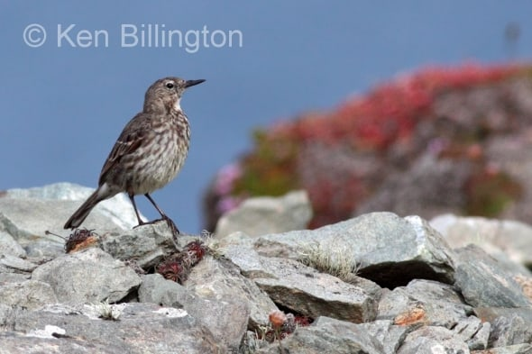 Meadow Pipit (Anthus pratensis) (22)