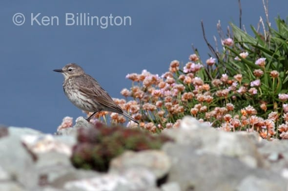 Meadow Pipit (Anthus pratensis) (23)