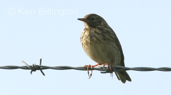 Meadow Pipit (Anthus pratensis) (05)