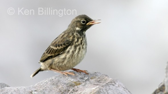 Meadow Pipit (Anthus pratensis) (06)
