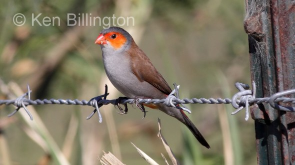 Orange-cheeked Waxbill (Estrilda melpoda) (2)