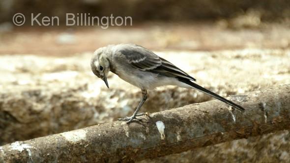 Pied Wagtail (Motacilla alba) (2)