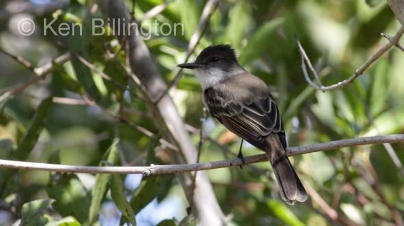 Puerto Rican Flycatcher (Myiarchus antillarum)
