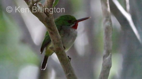 Puerto Rican Tody (Todus mexicanus)