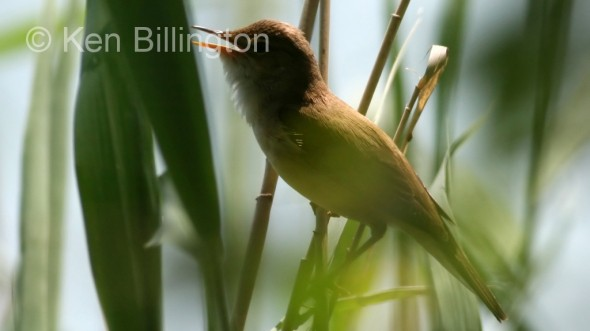 Reed Warbler (Acrocephalus scirpaceus) (4)