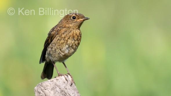 Robin (Erithacus rubecula) (03)