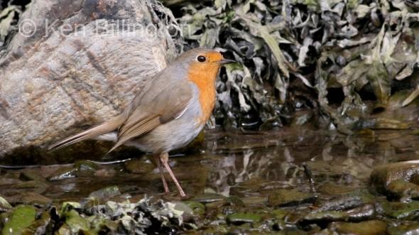 Robin (Erithacus rubecula) (04)