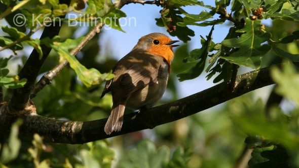 Robin (Erithacus rubecula) (05)