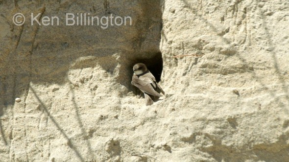 Sand Martin (Riparia riparia) (2)