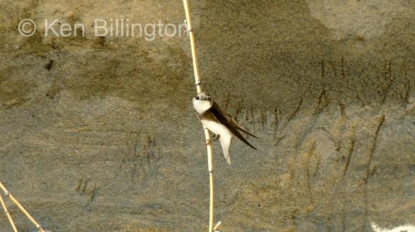 Sand Martin (Riparia riparia) (4)