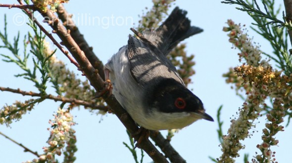 Sardinian Warbler (Sylvia melanocephala) (4)
