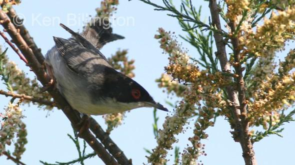 Sardinian Warbler (Sylvia melanocephala) (5)