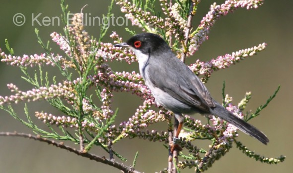 Sardinian Warbler (Sylvia melanocephala) (7)