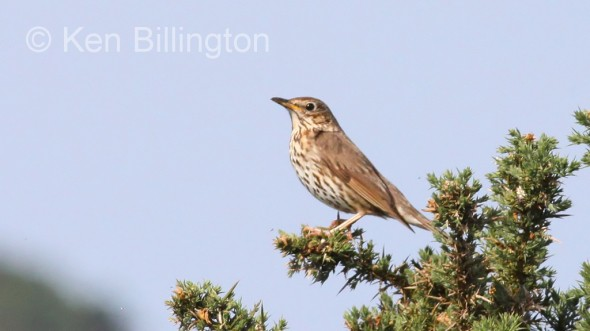 Juvenile Song Thrush (Turdus philomelos) (8)