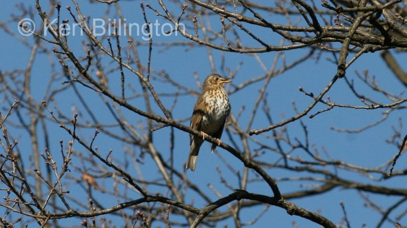 Song Thrush (Turdus philomelos) (5)