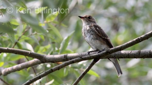 Juvenile Spotted Flycatcher (Ficedula hypoleuca) (6)