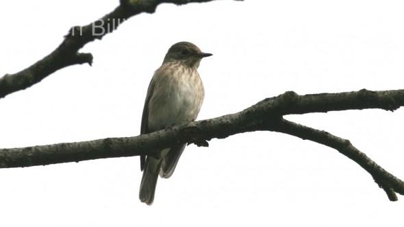 Spotted Flycatcher (Ficedula hypoleuca) (1)