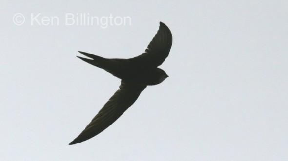 Common Swift (Apus apus) (01)