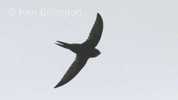 Common Swift (Apus apus) (02)