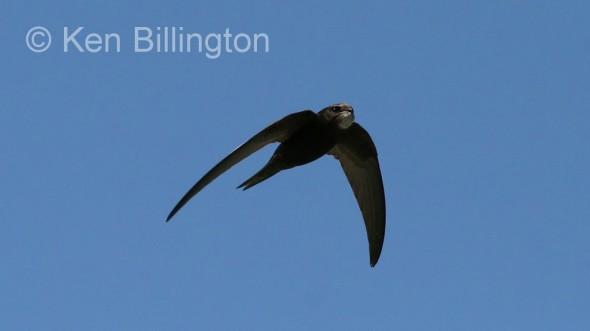 Common Swift (Apus apus) (03)