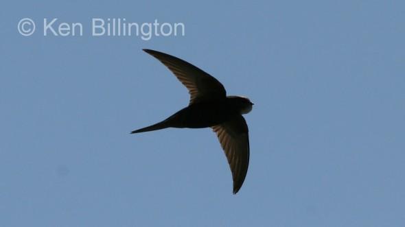 Common Swift (Apus apus) (04)