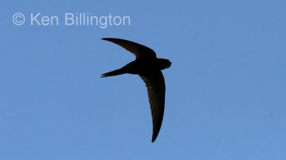 Common Swift (Apus apus) (05)