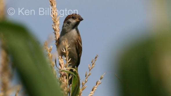 Tree Sparrow (Passer montanus) (3)