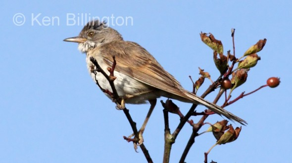 Whitethroat (Sylvia communis) (1)