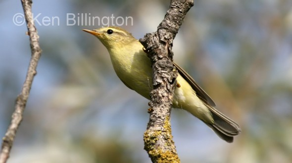 Willow Warbler (Phylloscopus trochilus) (1)