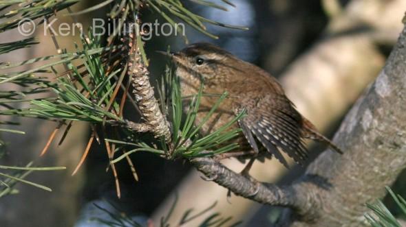 Wren (Troglodytes troglodytes) (3)