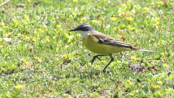 Yellow Wagtail (Motacilla flava) (4)