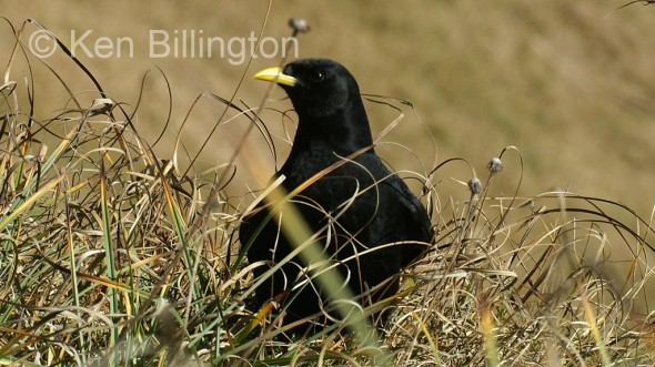 Alpine Chough (Pyrrhocorax graculus) (2)