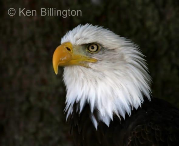 Bald Eagle (Haliaeetus leucocephalus) (1)