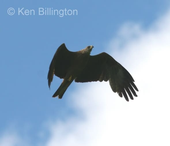 Black Kite (Milvus migrans) (01)