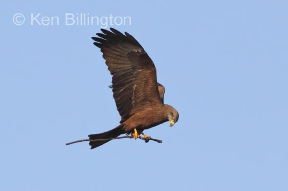 Black Kite (Milvus migrans) (10)