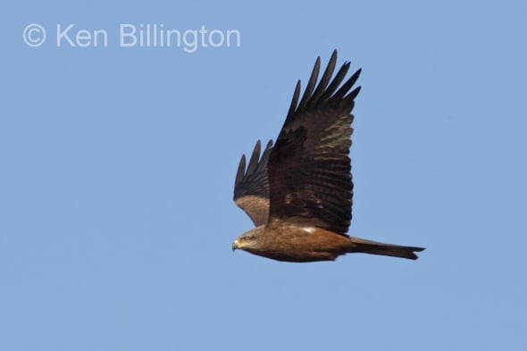 Black Kite (Milvus migrans) (13)