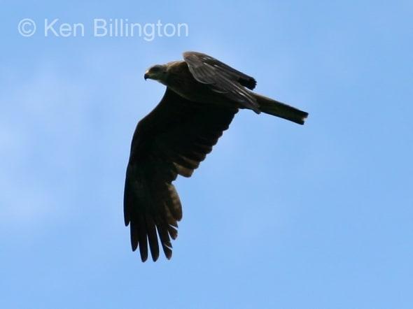 Black Kite (Milvus migrans) (04)