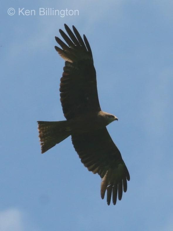 Black Kite (Milvus migrans) (05)