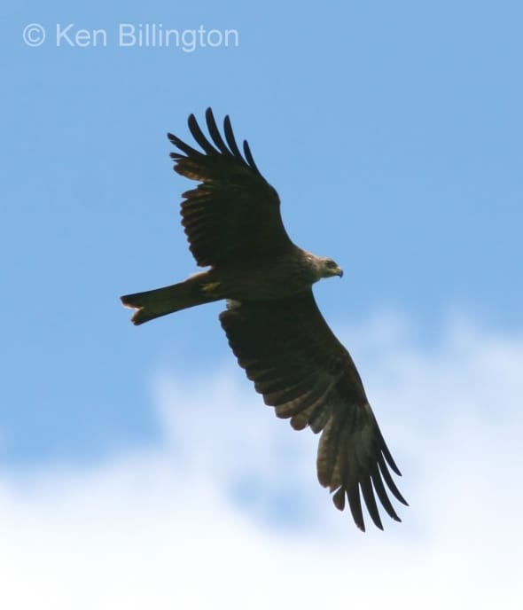 Black Kite (Milvus migrans) (06)