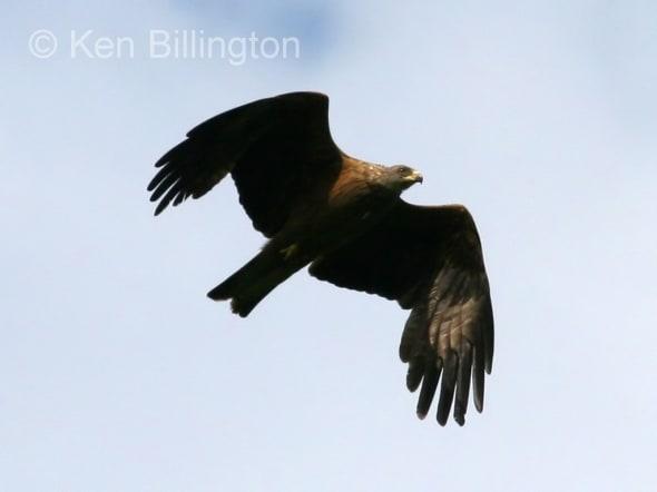 Black Kite (Milvus migrans) (07)