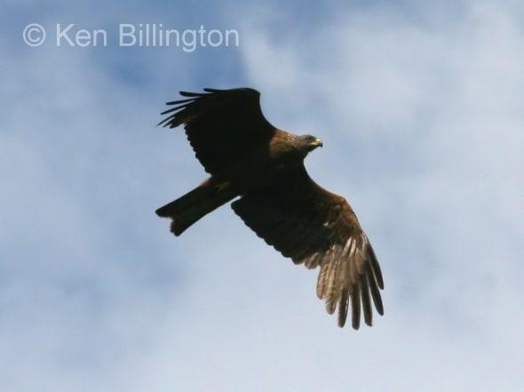 Black Kite (Milvus migrans) (08)