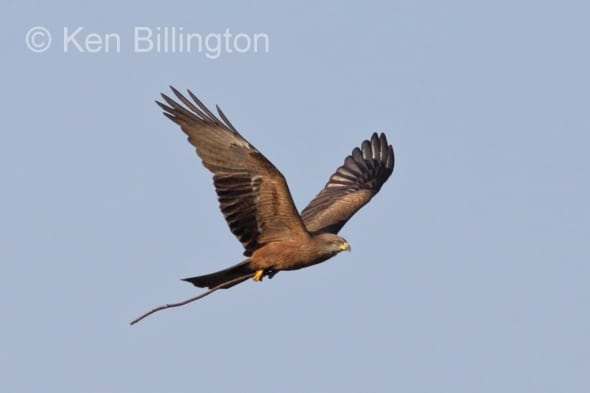 Black Kite (Milvus migrans) (09)