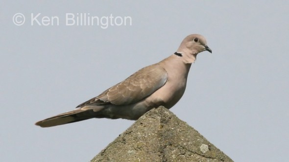 Collared Dove (Streptopelia decaocto) (3)